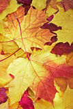 Fallen maple multi-coloured leaves Stock Images