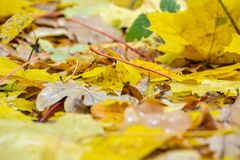 Fallen maple and oak leaves lie in a puddle. Rain, autumn, yellow leaves on the surface of the water. Rainy weather. Royalty Free Stock Image