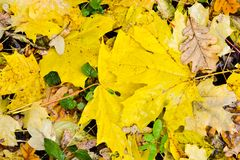 Fallen maple and oak leaves lie in a puddle. Rain, autumn, yellow leaves on the surface of the water. Rainy weather. Stock Photos