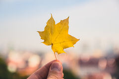 Fallen maple tree leaf held up with the city of bratislava blurr Stock Photography