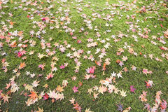 Fallen Maple Tree Leaves on Field of Moss Stock Photos