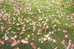 Fallen Maple Tree Leaves on Field of Moss Stock Photos