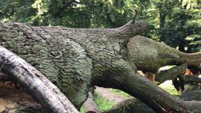 Fallen mighty oak in eastern Poland stock video