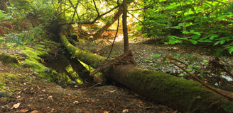 Fallen Mossy Log in Quiet Forest Royalty Free Stock Photo
