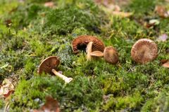 Fallen mushrooms royalty free stock images