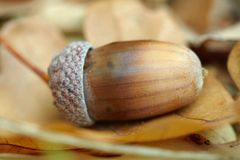 Fallen oak acorn Stock Images