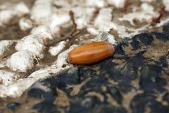 Fallen oak acorn Stock Photo