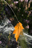 Fallen autumn leaf in cobweb selective focus Royalty Free Stock Photos