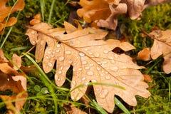 Fallen oak leaf Stock Photo