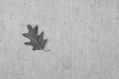 Oak Leaf on Gray Concrete Background, Grayscale Stock Images