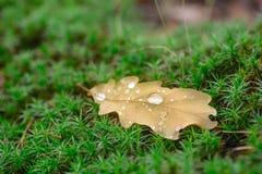 Fallen oak leaf with water drops Stock Photo