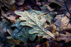 Fallen oak leafage Royalty Free Stock Images
