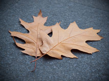 Fallen Oak Leaves Stock Image