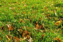 Fallen oak leaves in green grass Stock Image
