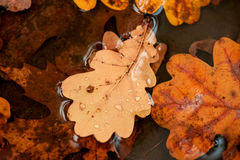 Fallen oak leaves in a puddle Royalty Free Stock Images
