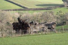 Fallen oak tree in countryside Stock Image