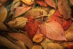 Fallen orange autmn leaves background Stock Image