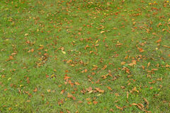 Fallen orange leaves on the grass. Texture Royalty Free Stock Photo