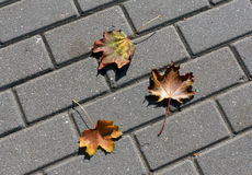 Fallen orange maple leaves on pavement. Stock Photos
