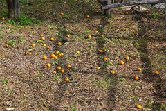 Fallen oranges and leaves on the ground Royalty Free Stock Photos