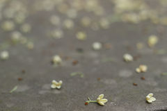 Fallen osmanthus flower on ground Royalty Free Stock Photography
