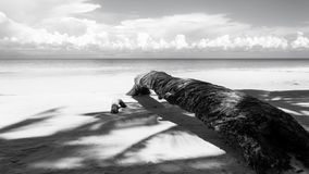 Fallen palm tree in black and white Stock Images