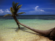 Strong palm tree growing over the tropical sea, Mexico. Strong palm tree growing over the tropical blue sea, Mexico. Blue sky royalty free stock photo