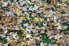 Fallen parasol tree leaves Stock Images