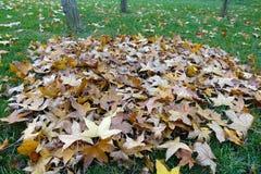 Fallen parasol tree leaves Stock Photo