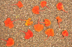 Fallen peacock petal on the floor Royalty Free Stock Photo