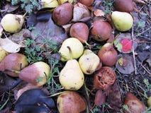 Fallen pears - Moose Jaw. Rotting pear crop - Moose Jaw Stock Image