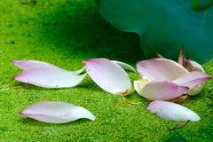Fallen petals Stock Images