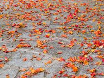 Fallen petals Royalty Free Stock Photography