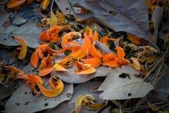 Fallen petals of Butea monosperma and dry leaves on the ground.Selectve focus. stock photos