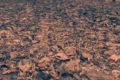Fallen petals of Butea monosperma and dry leaves on the ground.Sepia tone stock image