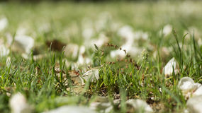 Fallen Petals and Grass Stock Photo