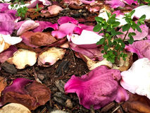 Fallen petals of magnolia. On the ground Royalty Free Stock Image