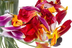 Fallen petals of a tulip Stock Photos