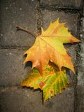 Fallen Phoenix tree leaf lying on ground Royalty Free Stock Image