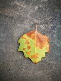 Fallen Phoenix tree leaf lying on ground Stock Image