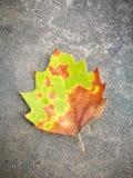 Fallen Phoenix tree leaf lying on the ground Royalty Free Stock Photo