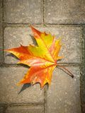 Fallen Phoenix tree leaf lying on the ground Stock Photo