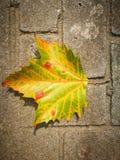 Fallen Phoenix tree leaf lying on the ground Stock Image