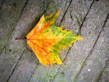 Fallen Phoenix tree leaf lying on wet ground Stock Photo