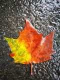 Fallen Phoenix tree leaf lying on wet ground Royalty Free Stock Image