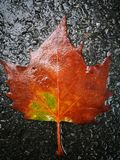 Fallen Phoenix tree leaf lying on wet ground Royalty Free Stock Photography