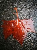 Fallen Phoenix tree leaf lying on wet ground Royalty Free Stock Images