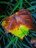 Fallen Phoenix tree leaf lying on wet ground Stock Photos