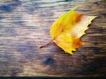 Fallen Phoenix tree leaf lying on wet wooden ground Royalty Free Stock Photos