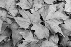 Fallen phoenix tree leaves in black and white Royalty Free Stock Image